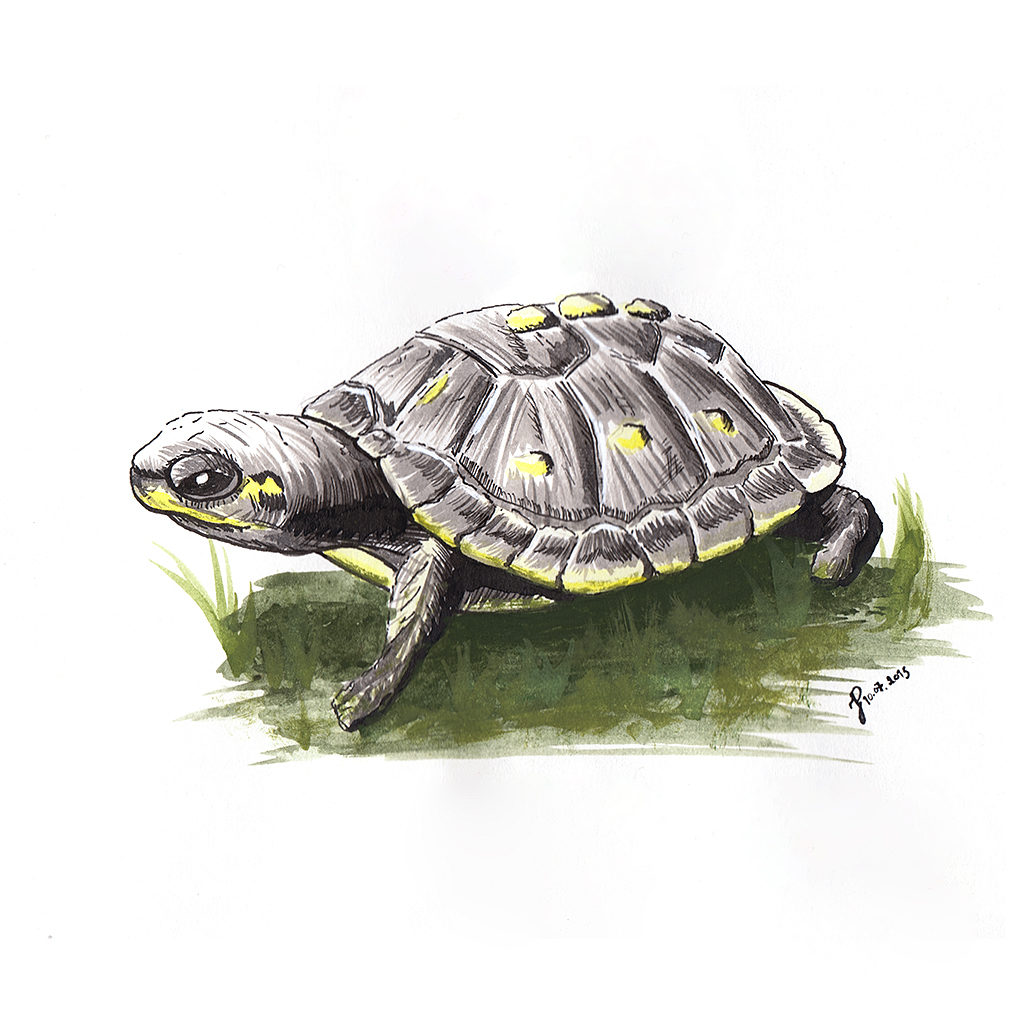 Sumi-e and gouache painting of a baby turtle